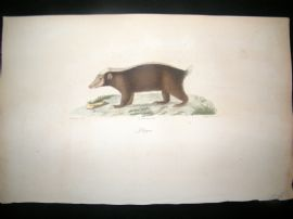 Saint Hilaire & Cuvier C1830 Folio Hand Colored Print. Pelagon